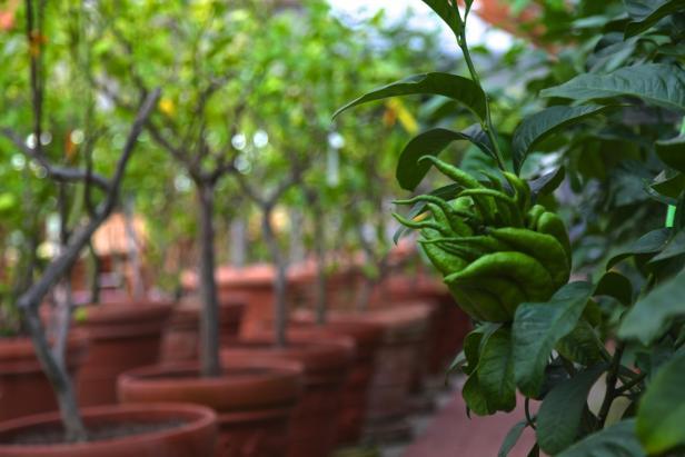 Der Zitrusgarten, Zitronen aus Österreich, Kärnten, Bio