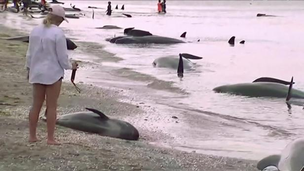 People look at stranded pilot whales seen on the b