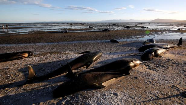 Some of the hundreds of stranded pilot whales mark