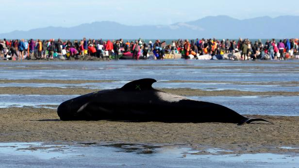 Volunteers attend to stranded pilot whales still a