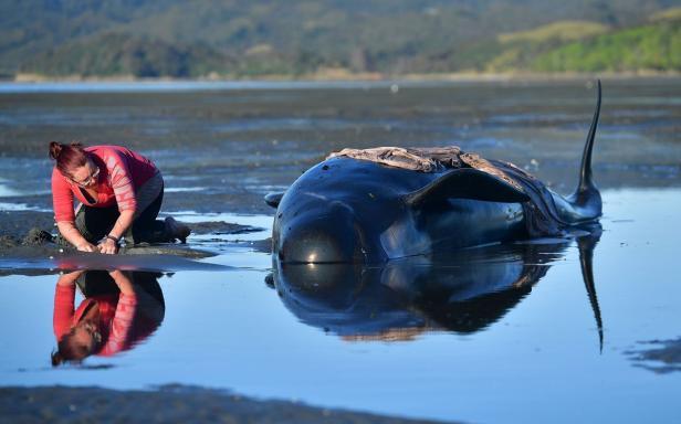 TOPSHOT-NZEALAND-ANIMAL-WHALES