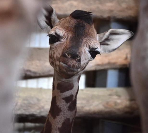 HUNGARY-ANIMALS-ZOO-GIRAFFE