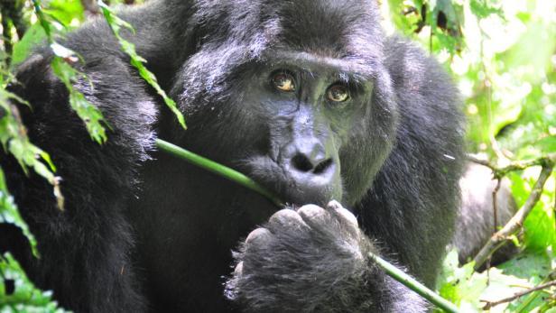 """Der Marsch zu den Gorillas kann Stunden dauern, je nach dem, wo sie gerade sind. Kondition ist nötig. Eine Stunde darf man sich dann mit ihnen """"unterhalten""""."""
