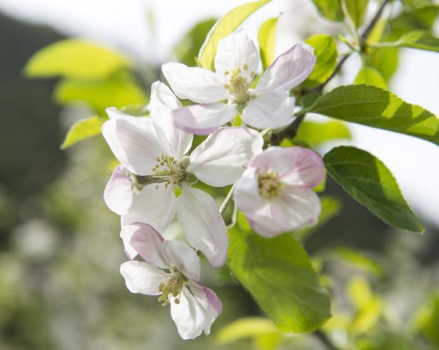 Blüte in Meran und Umgebung, Zur Apfelblüte in Mer…