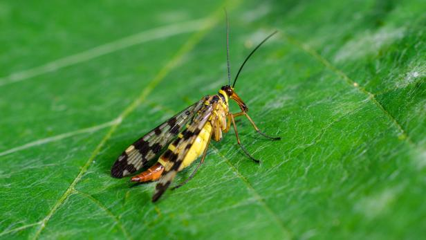 The Common Scorpionfly