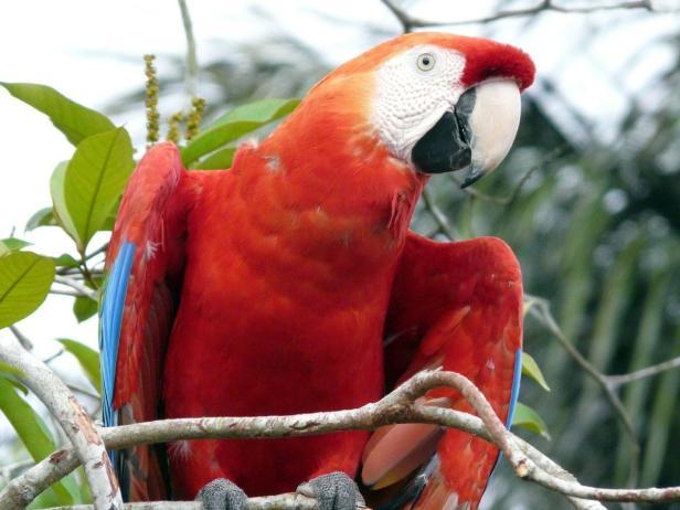 Urwald, Dschungel, Papagei, rot, Gebeco…