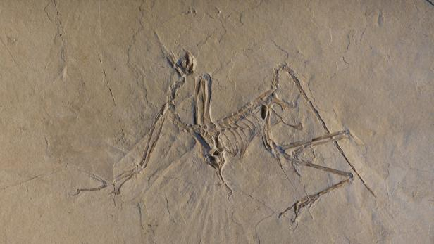 Ein Archaeopteryx-Fund aus der Gegend des heutigen Bayern.