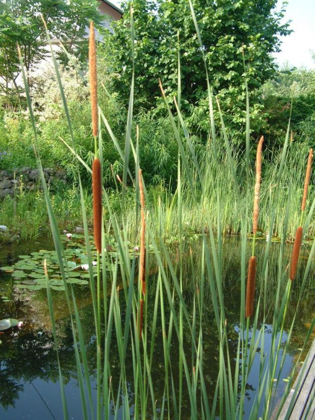 Schwimmteich mit Schmalblättrigem Rohrkolben und Weißer Seerose