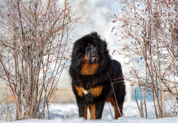 Beautiful Tibetan mastiff on the background of the winter landscape of nature. Breed of dogs.