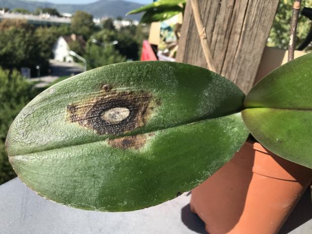 Orchideen sonnenbrand