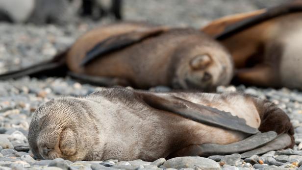 Salisbury Plain auf Südgeorgien ist ein Tierparadies. Die Königspinguine herrschen über diesen prachtvollen Ort