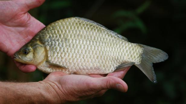 Zur Zierde gezüchtet: Goldfische fühlen sich in der Gruppe sicher