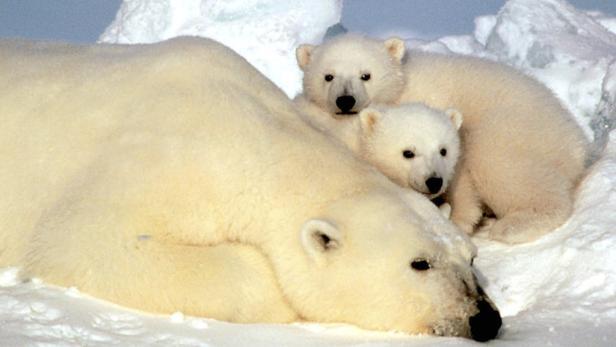 Zwei Junge bringt eine Eisbärin im Schnitt jeden Winter auf die Welt.