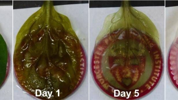 Forscher verwandeln Spinatblätter in schlagende Herzzellen   kurier.at