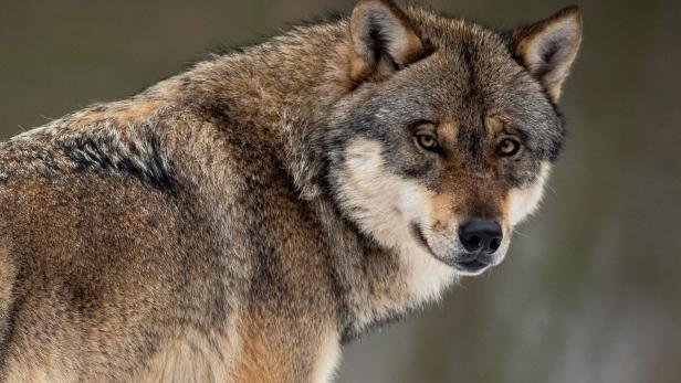 GERMANY-ANIMAL-WOLF