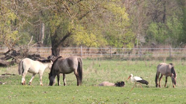 Ein Storch zwischen Konik-Pferden