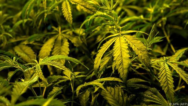 CBD wird aus der Cannabis-Pflanze gewonnen