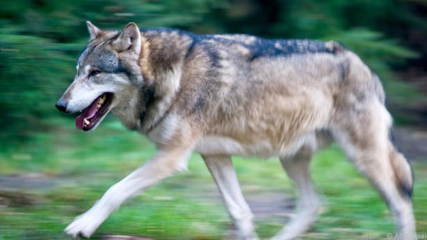 Über zwei Dutzend Tiere fielen heuer in Pongau einem Wolf zum Opfer
