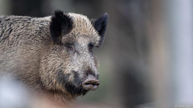 Für das Wildschwein endete das Abenteuer tödlich