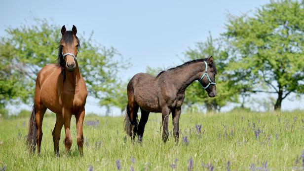 Pferde leiden regelrecht, wenn sie von Gelsen gestochen werden