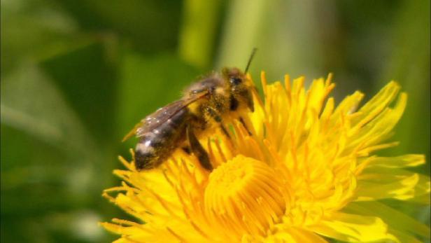 Die dunkle Tiroler Biene - Kampf ums Überleben