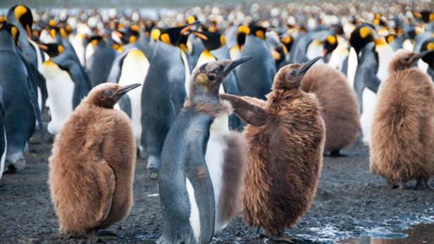 Hinweis: Das sind nur Symbol-Pinguine, keine Australischen