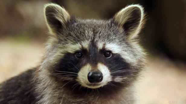 Kaum neue Säugetierarten wie der bereits eingewanderte Waschbär