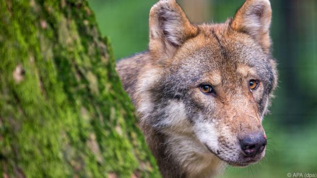 Viele offene Fragen rund um den Wolf