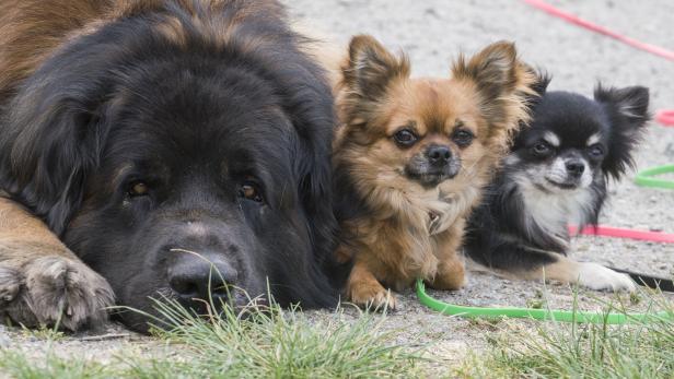 Großer Hund - Kleine Hunde