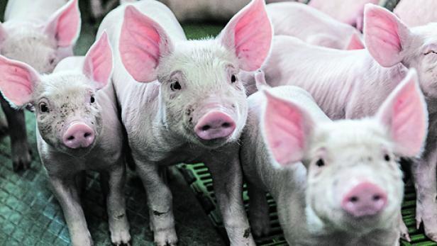 Der Schweinemarkt in der Krise