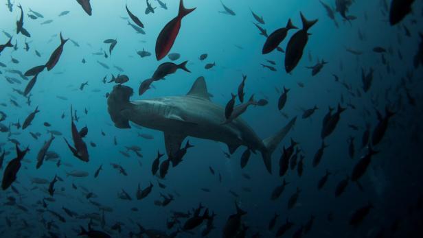 A hammerhead shark swims close to Wolf Island at Galapagos Marine Reserve