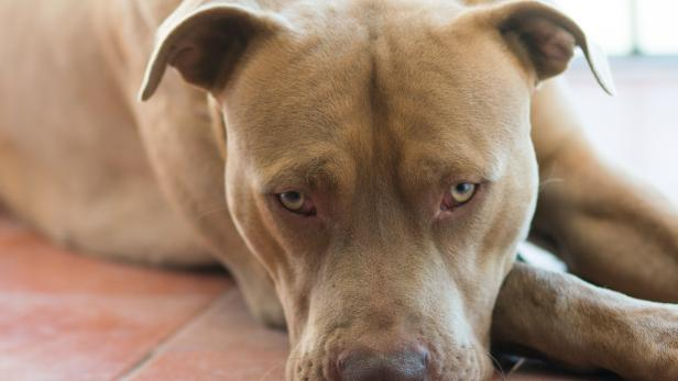 Beautiful brown pitbull terrier dog