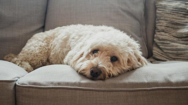 Dog Relaxing on Sofa