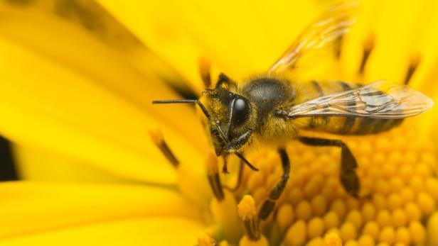 Bienen gelten als Meister der Bestäubung.
