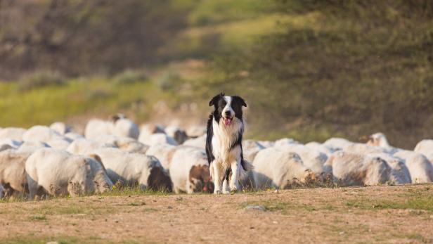 Border Collies eignen sich als Hüte- und Artenschutzhund.