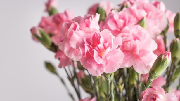 pink carnation studio shot  with grey background