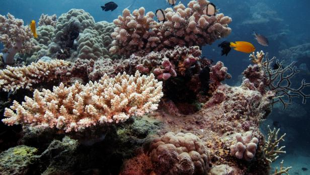 Reef fish swim above recovering coral colonies on the Great Barrier Reef off the coast of Cairns, Australia