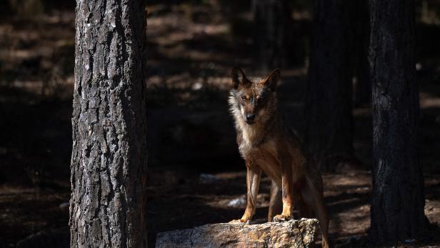 SPAIN-WOLF-HUNTING-ANIMALS