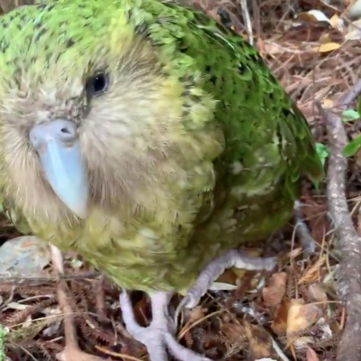 Letzte Kakapos in Gefahr: Pilz bedroht pumelige Papageien
