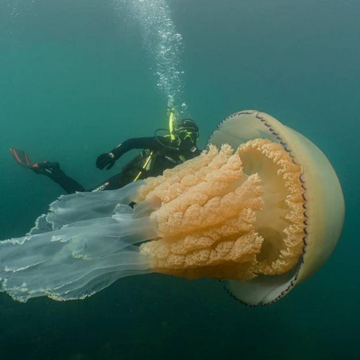 So groß wie ein Mensch: Britische Biologin taucht mit Riesenqualle