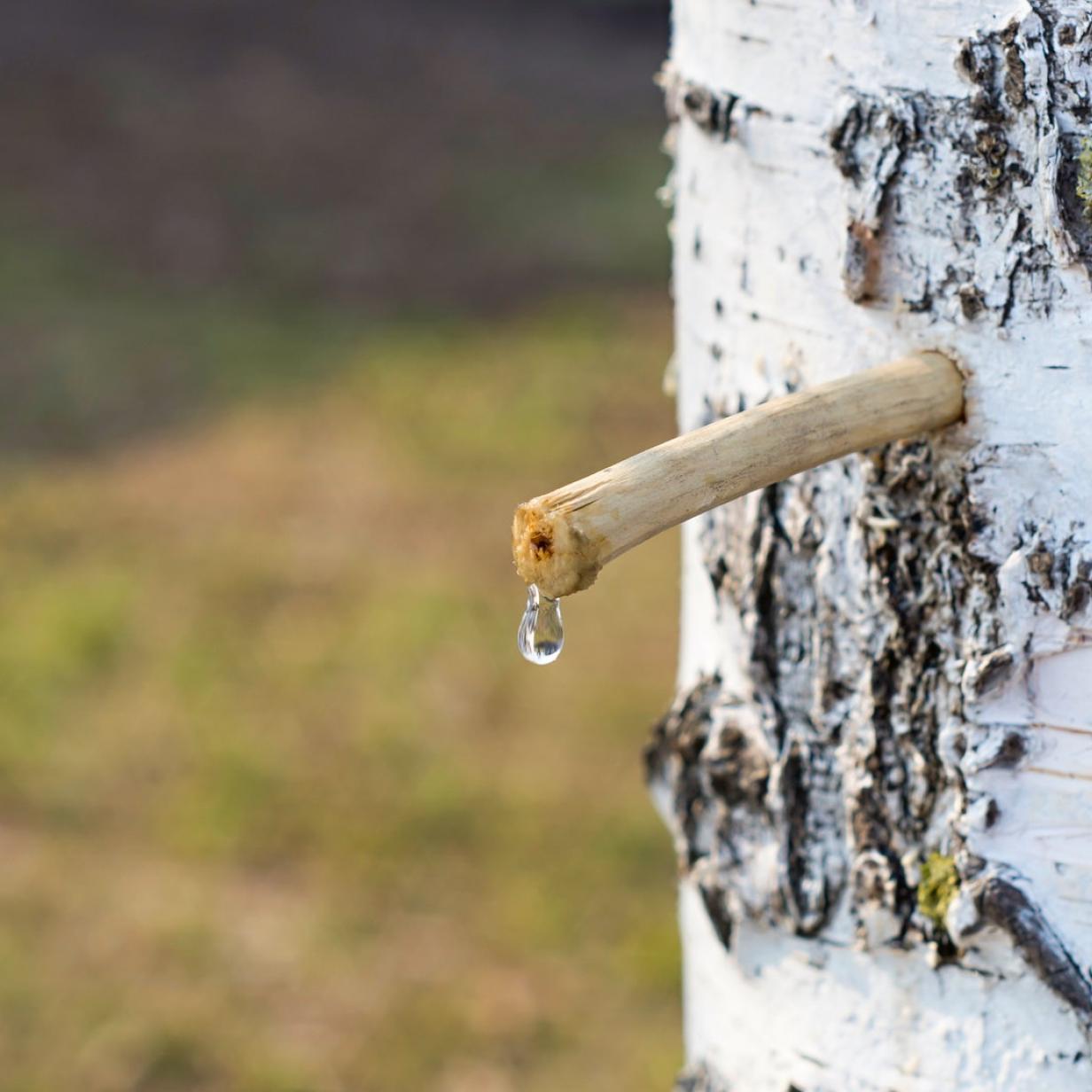 Medizin-Mythen: Fördert Birkenwasser die Gesundheit?