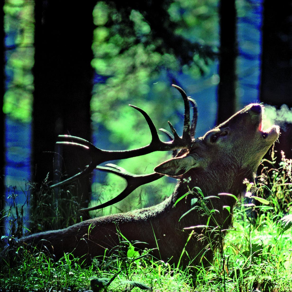 Das Röhren der liebesnärrischen Hirsche nachahmen: Die besten Tipps rund ums Wochenende!