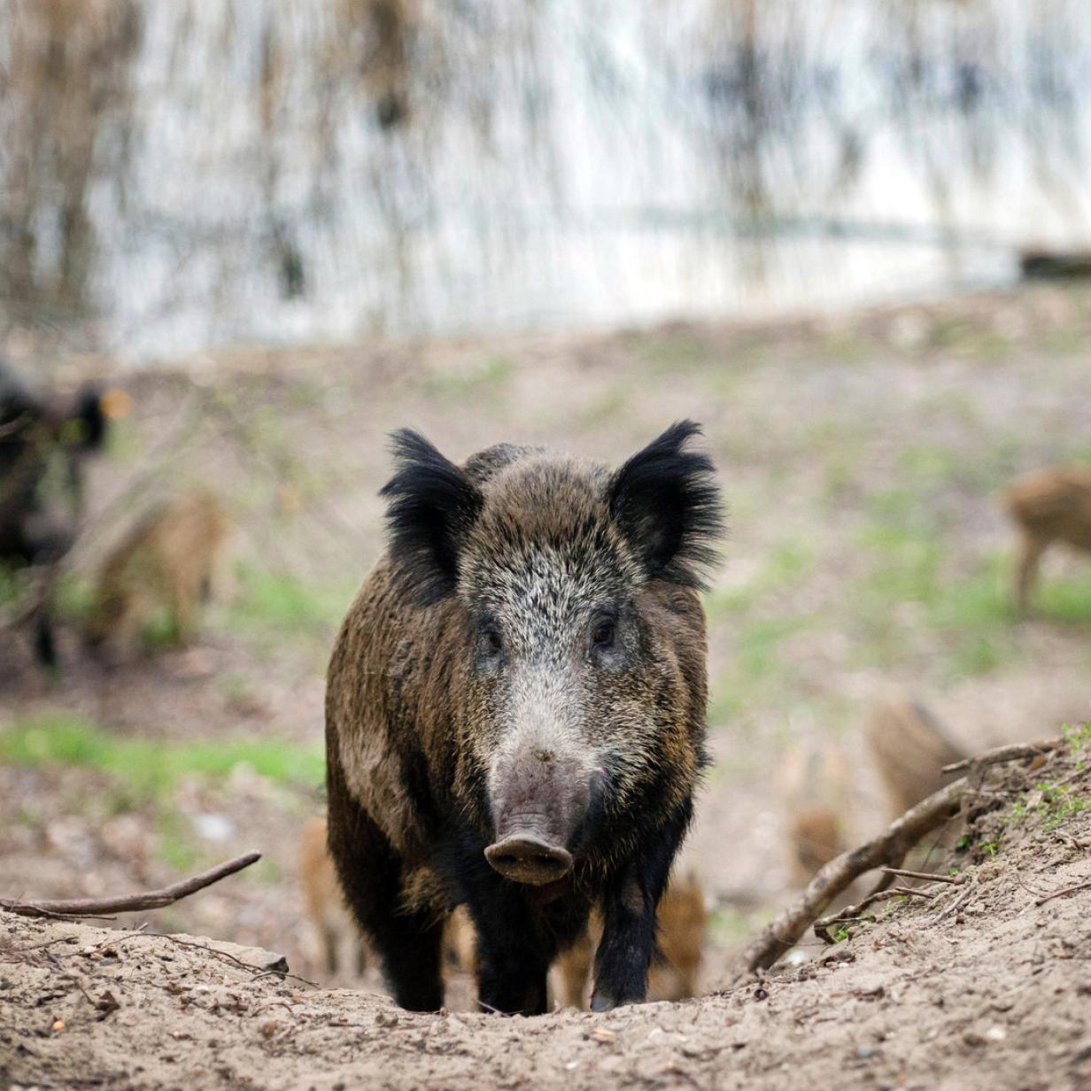 Hilfe, ein Wildschwein: Wie man sich im Wald richtig verhält
