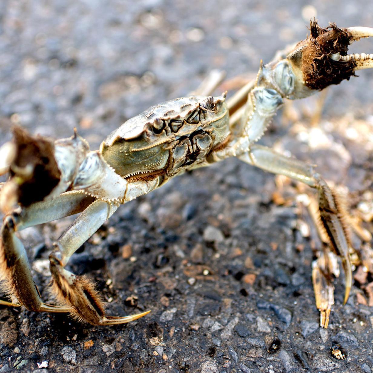 Krabben-Invasion: Massenwanderung an die Nordsee
