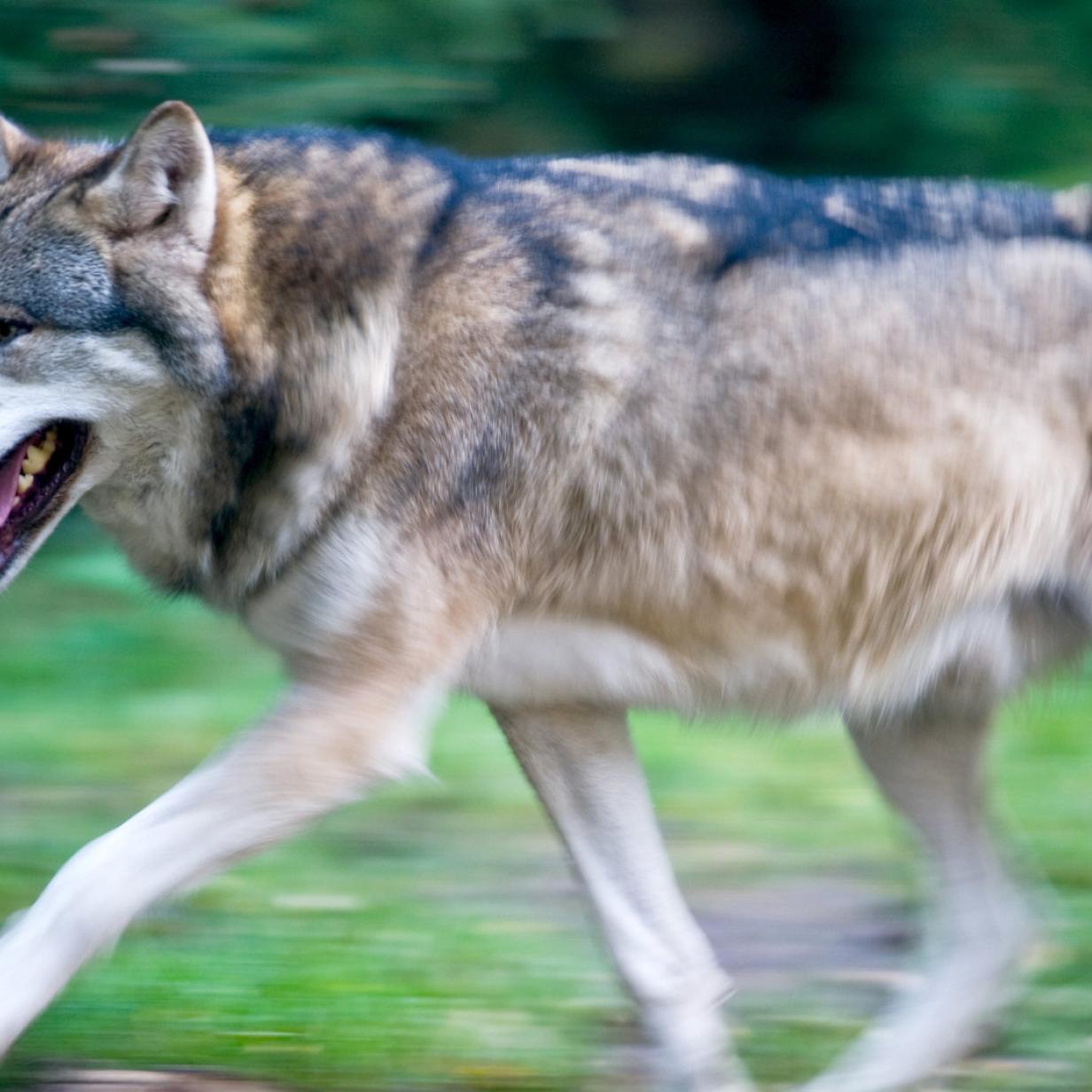 "Experte fordert ""Wolfs-Management"""