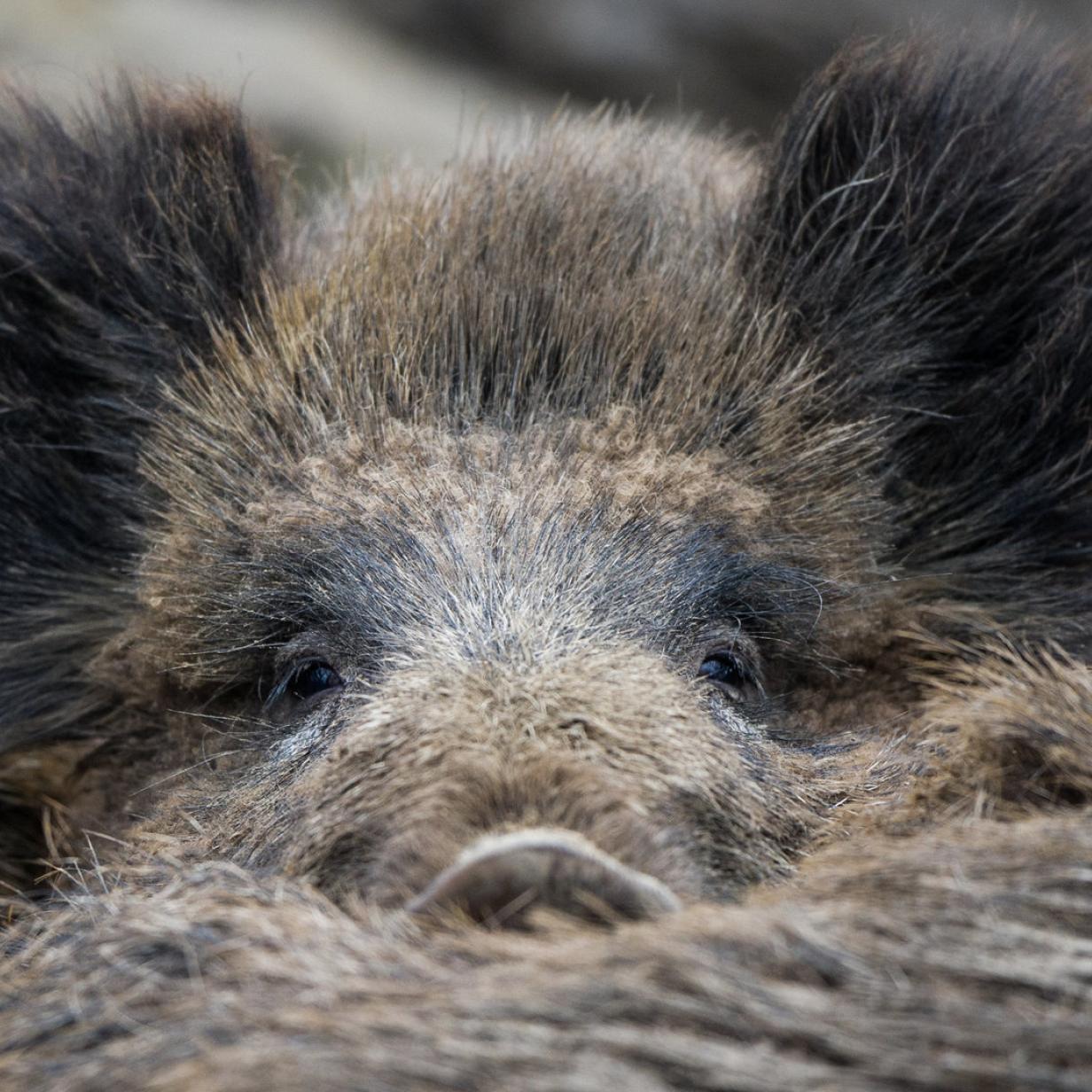 Warum wir mehr Wildschwein essen sollten