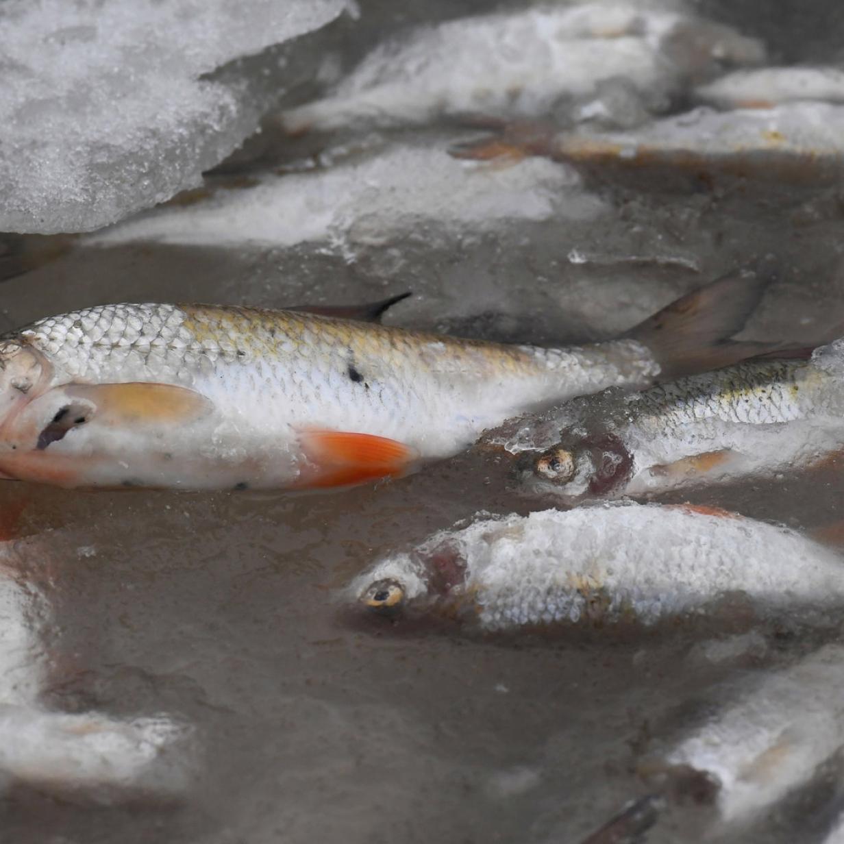 Wasser verschmutzt: 400 Fische in Weiz verendet