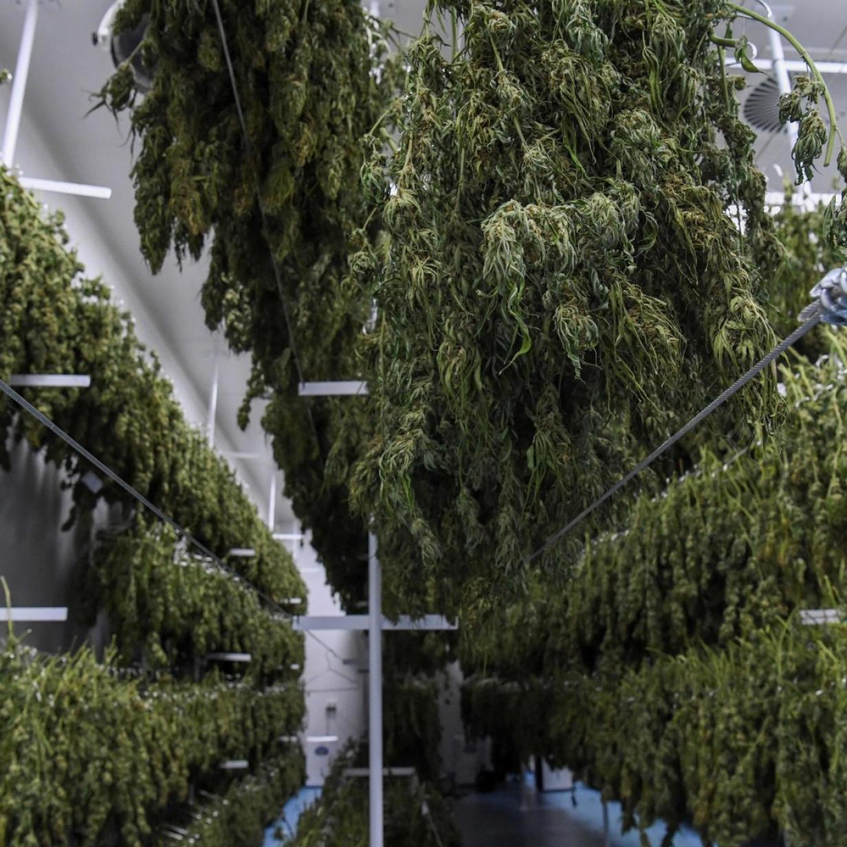 Marihuana-Markt übersättigt: nur 10 Prozent Cannabis werden verkauft