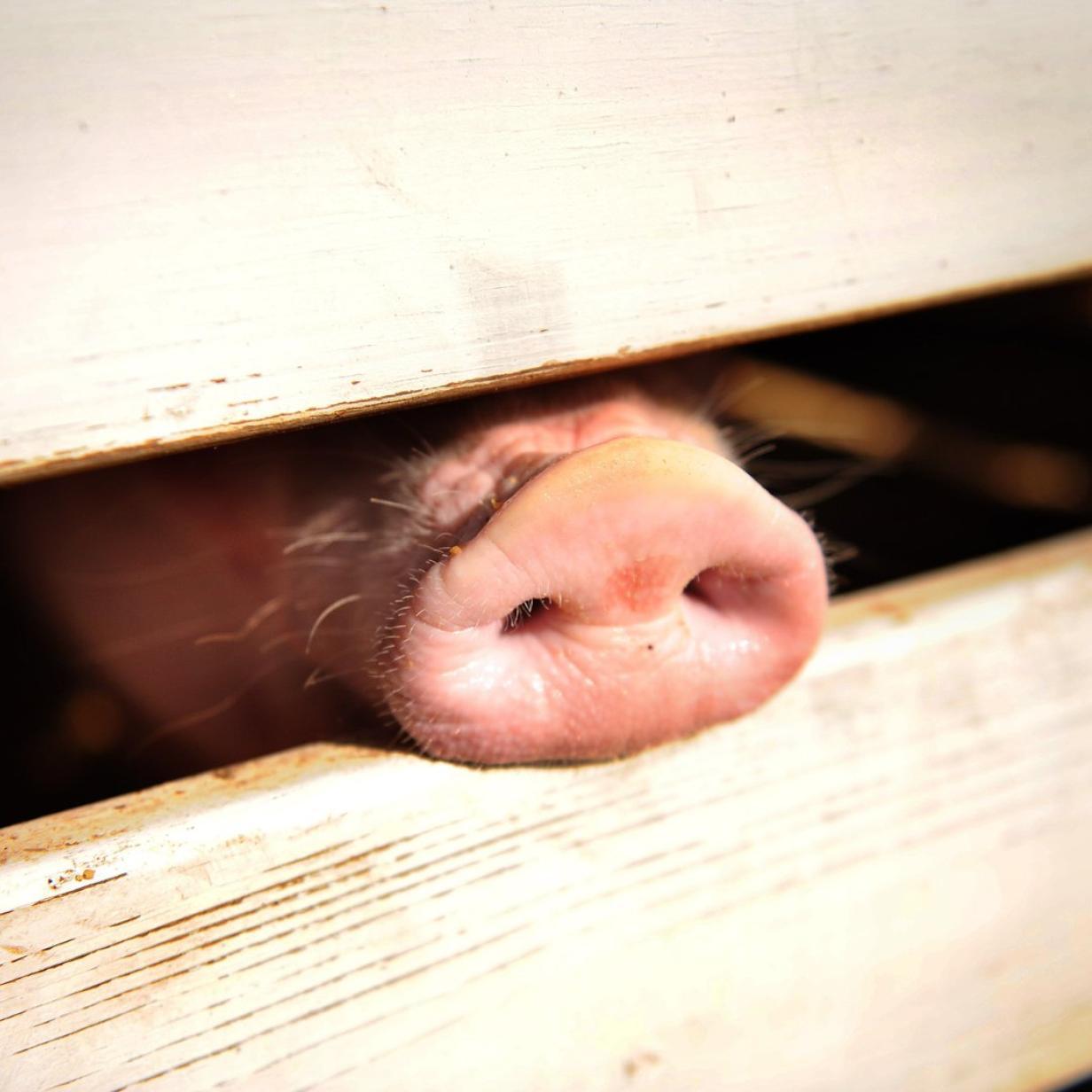Grauenhafter Fund in Polen: Hausschweine fraßen Landwirt auf