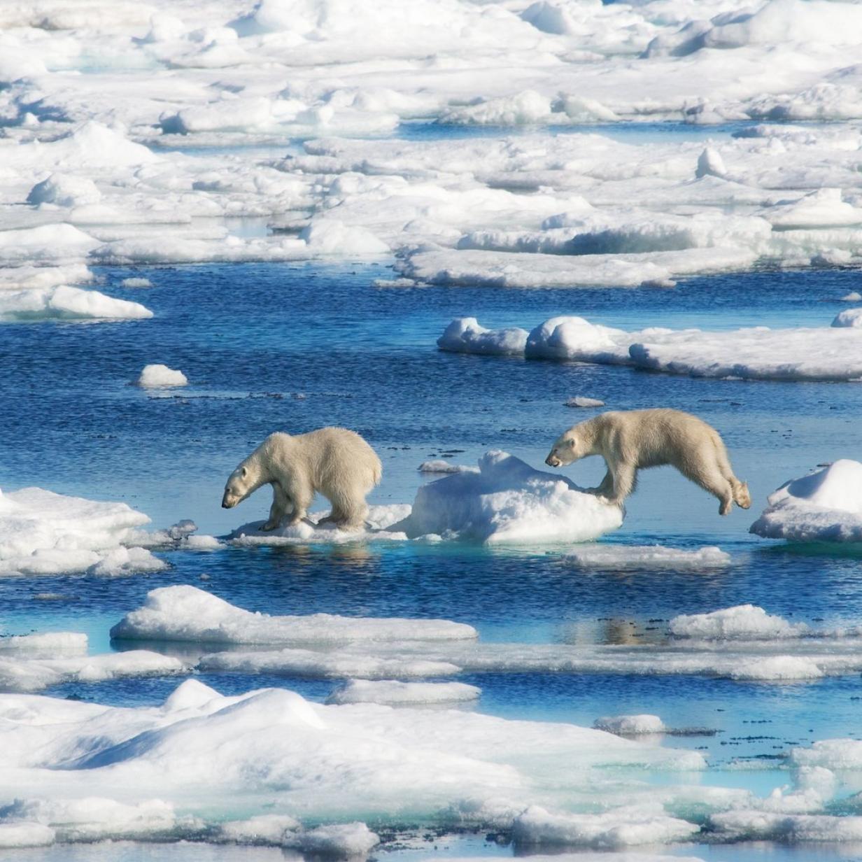 Über 50 hungrige Eisbären nähern sich kleinem Dorf
